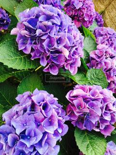 鮮やかなパープルの写真・画像素材[921770]
