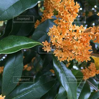 Fragrant Olive 金木犀の写真・画像素材[733237]