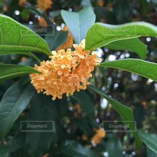 Fragrant Olive 金木犀の写真・画像素材[733238]