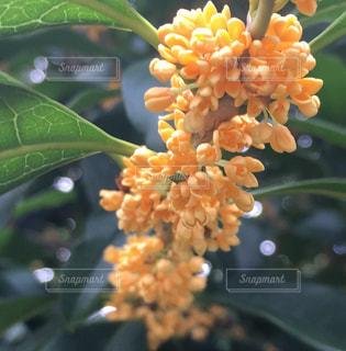 Fragrant Olive 金木犀の写真・画像素材[733240]