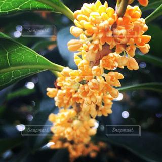Fragrant Olive 金木犀の写真・画像素材[733241]
