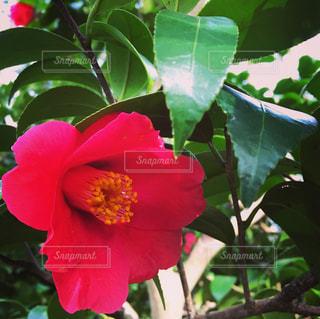 木からぶら下がっている赤い花の写真・画像素材[733738]