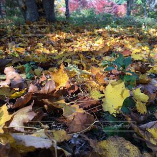 秋の落ち葉の写真・画像素材[734484]