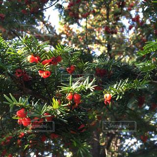 赤い実をつけた針葉樹の写真・画像素材[1019751]