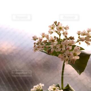 ベランダの蕎麦の花の写真・画像素材[1224699]