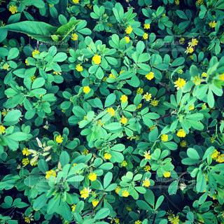 雑草・野の花。緑の葉と黄色い花の写真・画像素材[2110411]