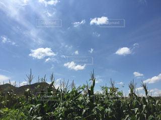 中国 大連田舎のトウモロコシ畑の写真・画像素材[691998]
