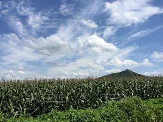 中国 大連田舎のトウモロコシ畑の写真・画像素材[691999]