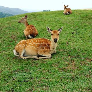 鹿の写真・画像素材[654065]
