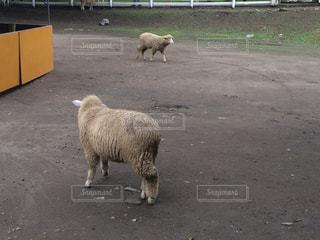 羊の写真・画像素材[619455]