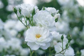 花の写真・画像素材[623815]
