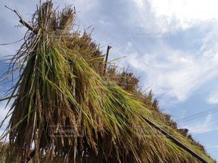 お米の収穫の写真・画像素材[853177]