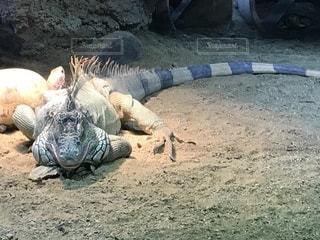 爬虫類に横になっている男の写真・画像素材[844048]