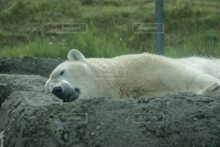 横たわるシロクマの写真・画像素材[726655]
