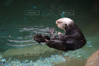 水体で泳ぐヒグマの写真・画像素材[726656]