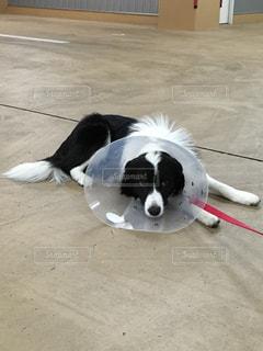 疲れた犬の写真・画像素材[733365]