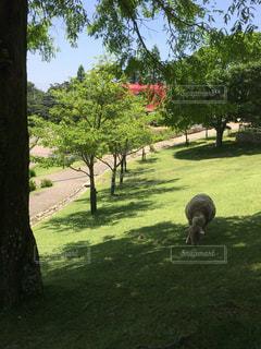 牧草を食べる羊の写真・画像素材[1316622]