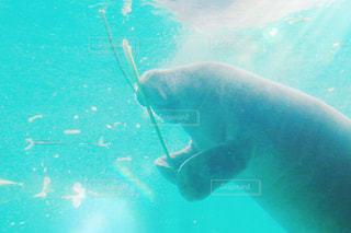 水中を泳ぐじゅごんの写真・画像素材[854315]