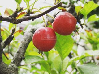 姫リンゴの写真・画像素材[622308]