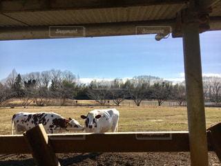 牛の写真・画像素材[622459]