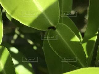 アゲハの卵から孵った最初の幼齢虫の写真・画像素材[622547]