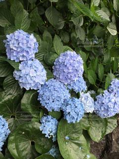 紫陽花の写真・画像素材[622756]