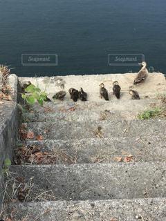 鴨の写真・画像素材[622921]