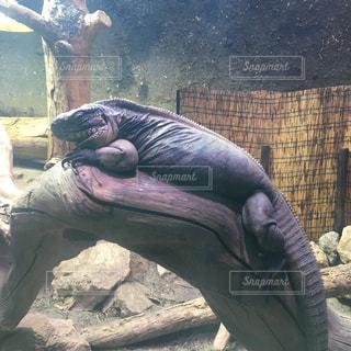 爬虫類の写真・画像素材[631344]