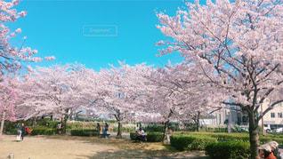 公園の大きな木の写真・画像素材[1102902]