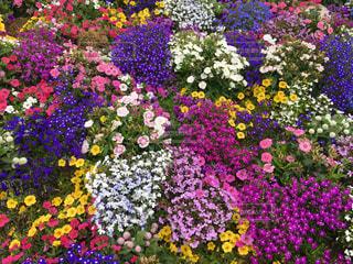 紫色の花一杯の花瓶の写真・画像素材[1375845]