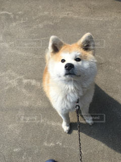 カメラを見て茶色と白犬の写真・画像素材[1119695]