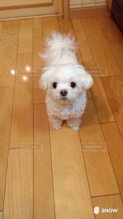 小型犬 マルチーズ 白い犬 犬 ペットの写真・画像素材[632131]