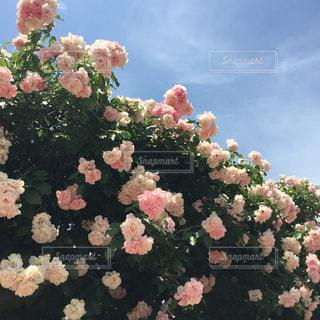 ピンクの写真・画像素材[623890]