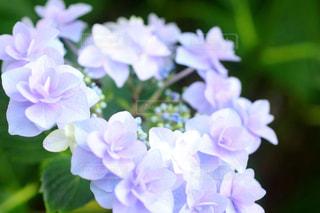 紫陽花の花かんむりの写真・画像素材[2189203]