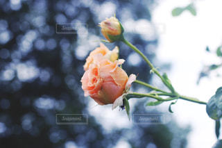 バラの写真・画像素材[2189205]