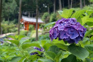 紫陽花の写真・画像素材[624173]