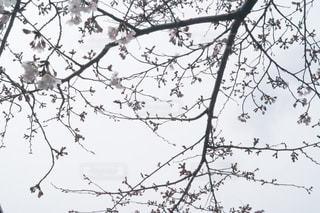 桜空の写真・画像素材[624410]