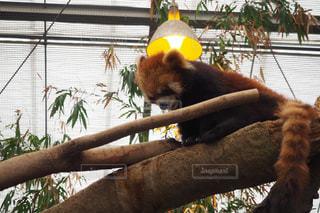 枝に座っているパンダの写真・画像素材[2417893]