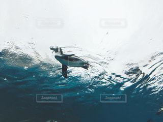 泳ぐペンギン! - No.728289