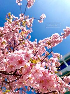 桜満開の写真・画像素材[1053527]