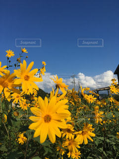 黄色い花と青空との写真・画像素材[2438954]