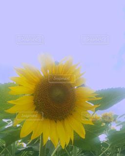 ひまわり 向日葵 ヒマワリ sunflower ひまわり畑 夏 成田ゆめ牧場 千葉県 花 Flowerの写真・画像素材[626430]