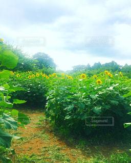 ひまわり 向日葵 ヒマワリ sunflower ひまわり畑 夏 成田ゆめ牧場 千葉県 花 Flowerの写真・画像素材[626544]