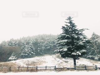雪の上を歩く牛の群れにフィールドが覆われています。 - No.963993