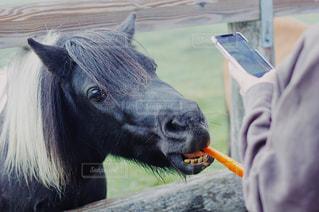 ニンジンを食べる馬の写真・画像素材[2377082]