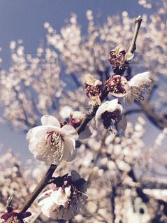 桜の写真・画像素材[625269]