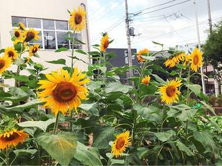 黄色の花の束 - No.705875