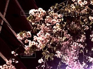 常闇の桜の写真・画像素材[1099472]