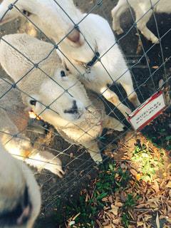No.626231 羊