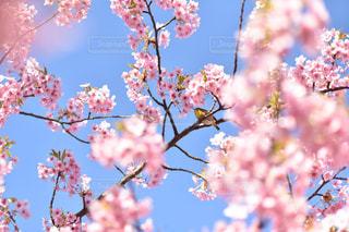 ピンクの花の木の写真・画像素材[1087824]